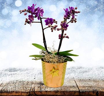 Festive Orchids
