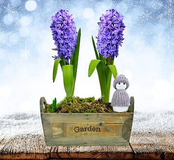 Holiday Hyacinth Duo