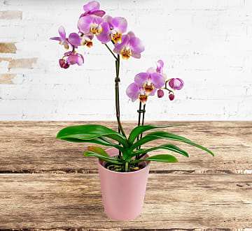 Orchid Phalaenopsis