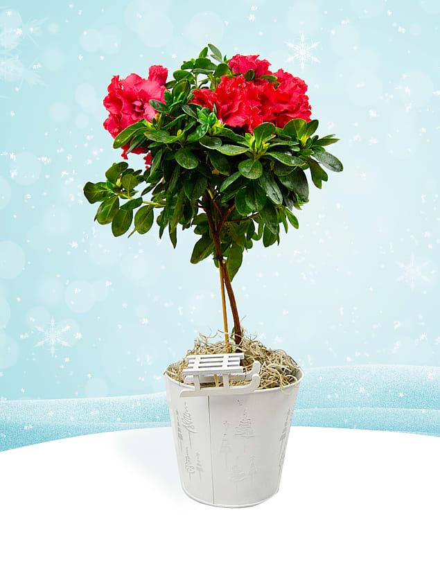 Azalea Topiary Tree