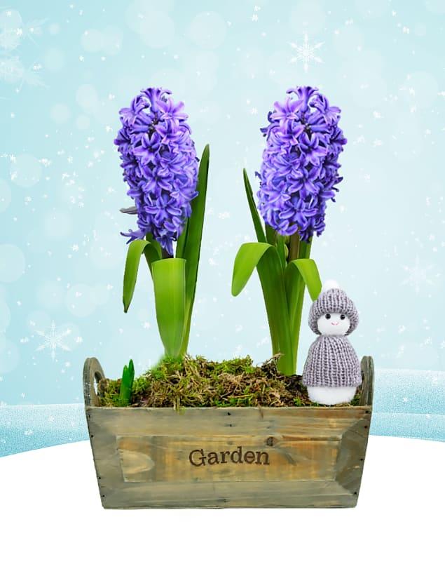 Christmas Hyacinth Duo