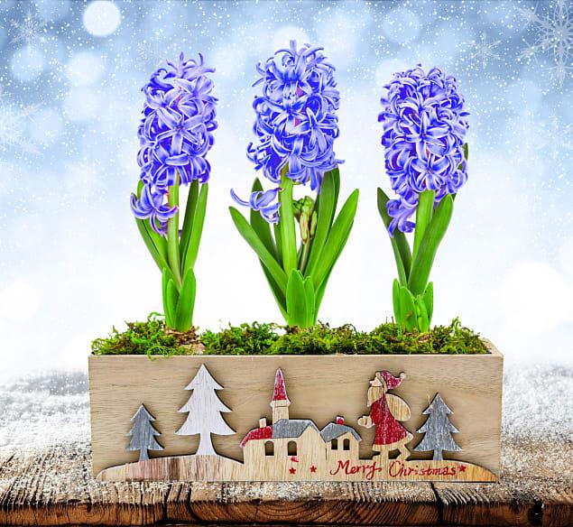 Hyacinth Trio