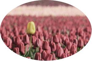 Rounded cornered signed yellow tulip