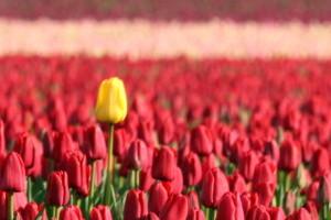 300x200 signed manipulated yellow tulip