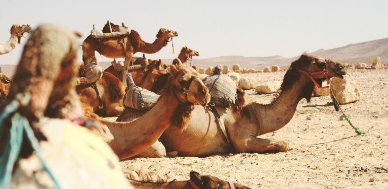 dromadaires promenade collègues activité marrakech maroc terres d'amanar