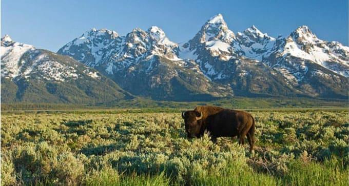 Rencontre avec les bisons et les ours dans les Rocheuses