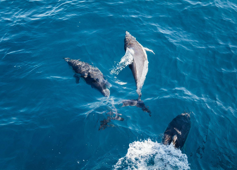 Algarve dauphins