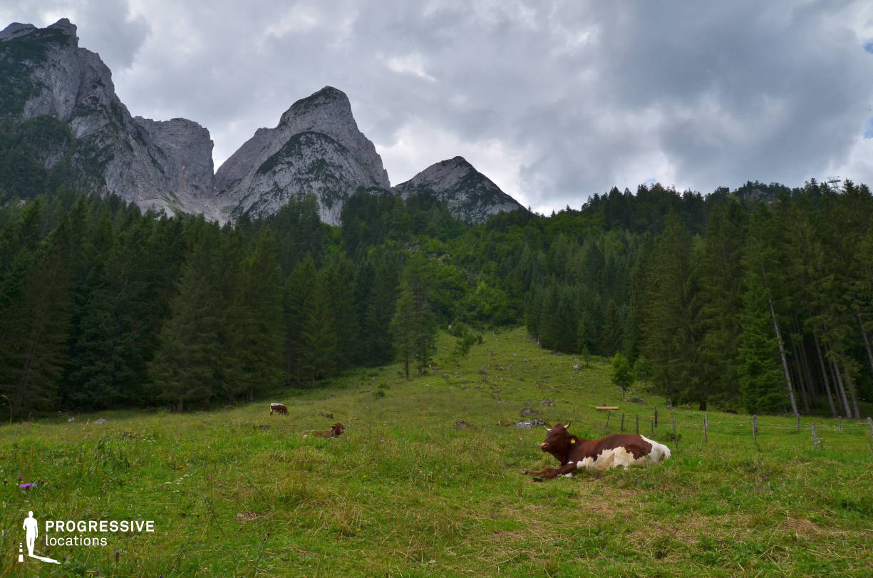 Locations in Austria: Field %26 Cow, Gosausee (Hillside)