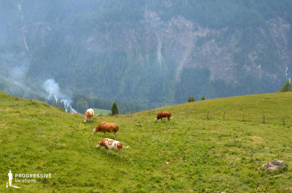 Locations in Austria: Mountain View %26 Cows, Grossglockner