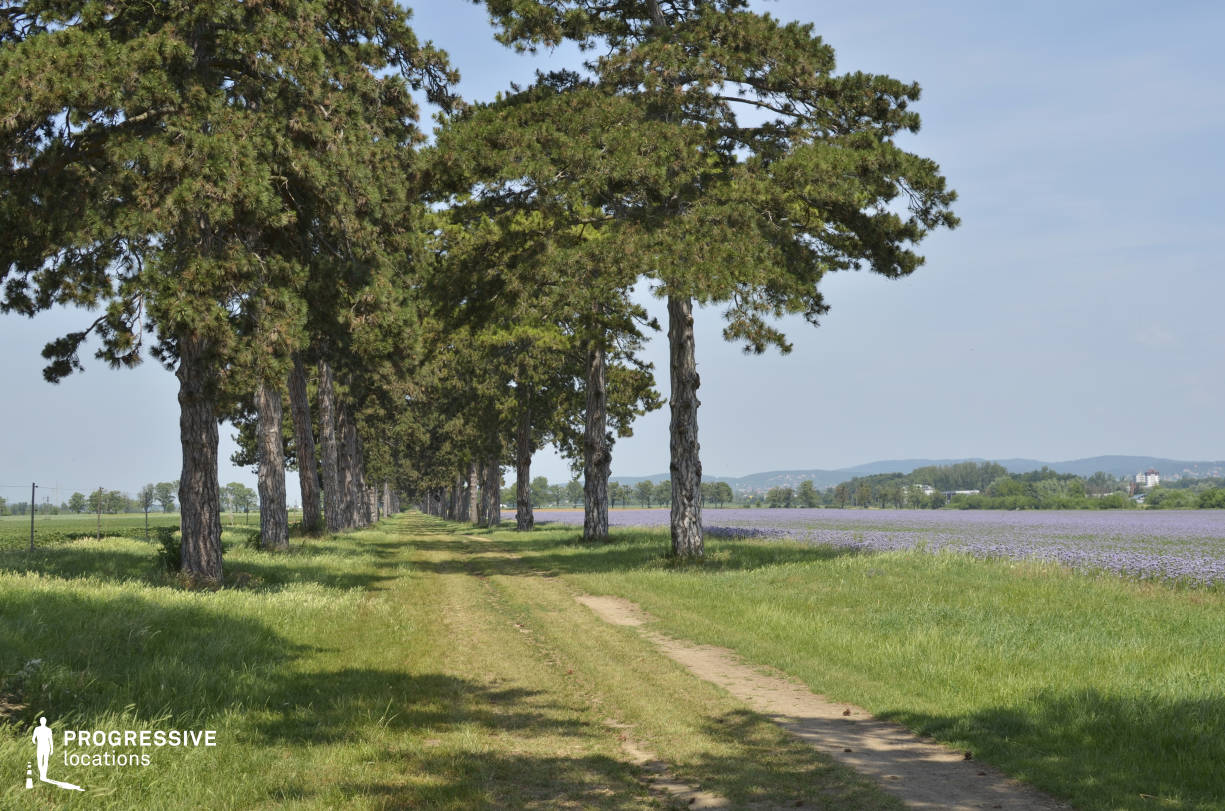 Locations in Hungary: Allee of Pine Trees with Field