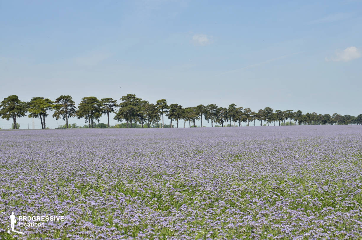 Locations in Hungary: Purple Field, Keszthely