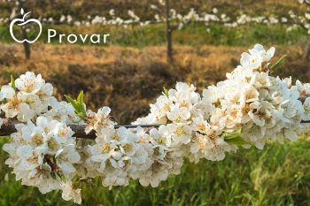 Choosing The Correct Plum Pollinator
