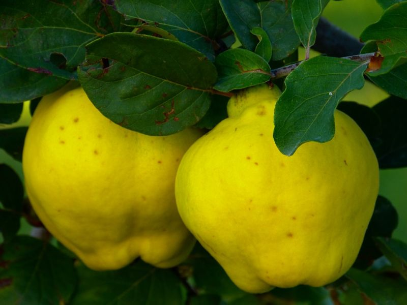 quince-65184_960_720