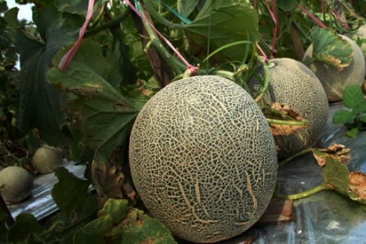kampoeng-melon1