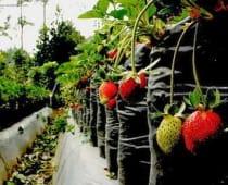 wisata petik strawberry ciwidey