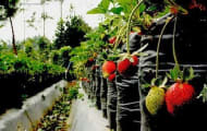 Petik Sendiri di Kebun Strawberry Ciwidey