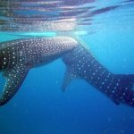 whale-shark-cebu-bohol-adventure-4