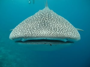 oslob whale shark watching cebu tour package