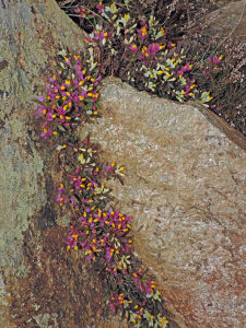 04. Micascisto eclogitico in detrito sul tracciato Andrate-Mombarone. Fioritura di Polygala chamaebuxus.