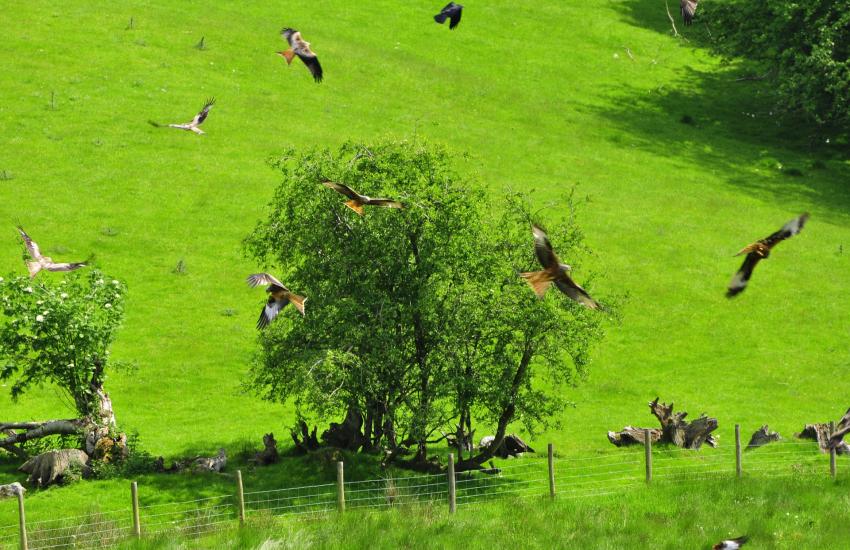 Red Kite feeding station at Gigrin farm