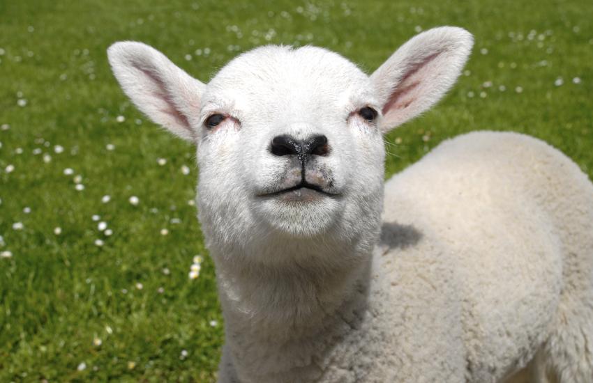 Lambs on Preseli Hills