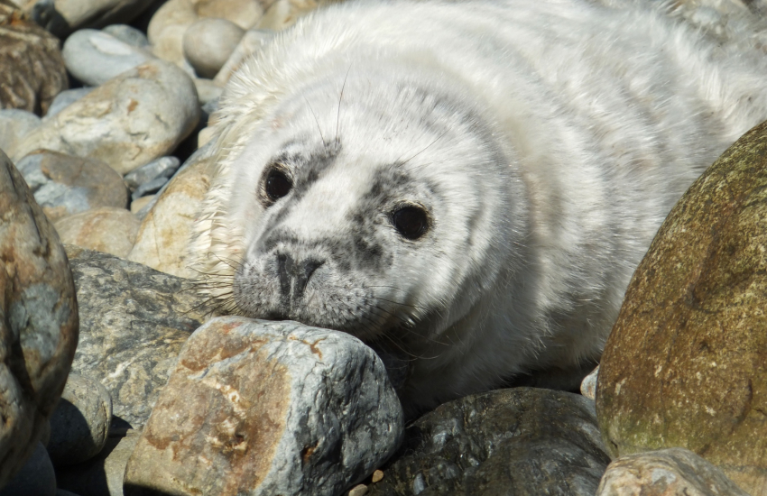 Pembrokeshire coast line is a great location to spot grey seal pups