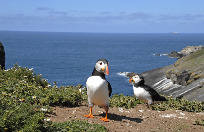 Puffins are just some of the seabirds which breed on Skomer and Skokholm