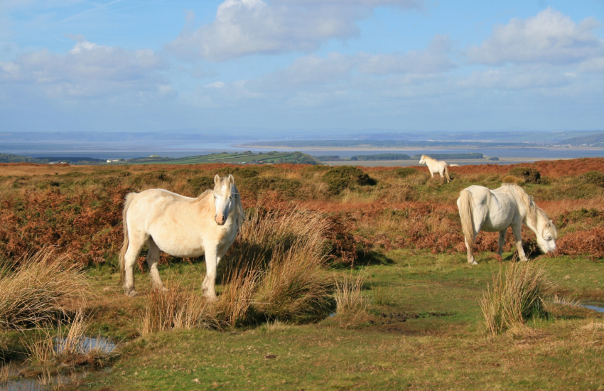 Wild ponies roam freely on The Gower
