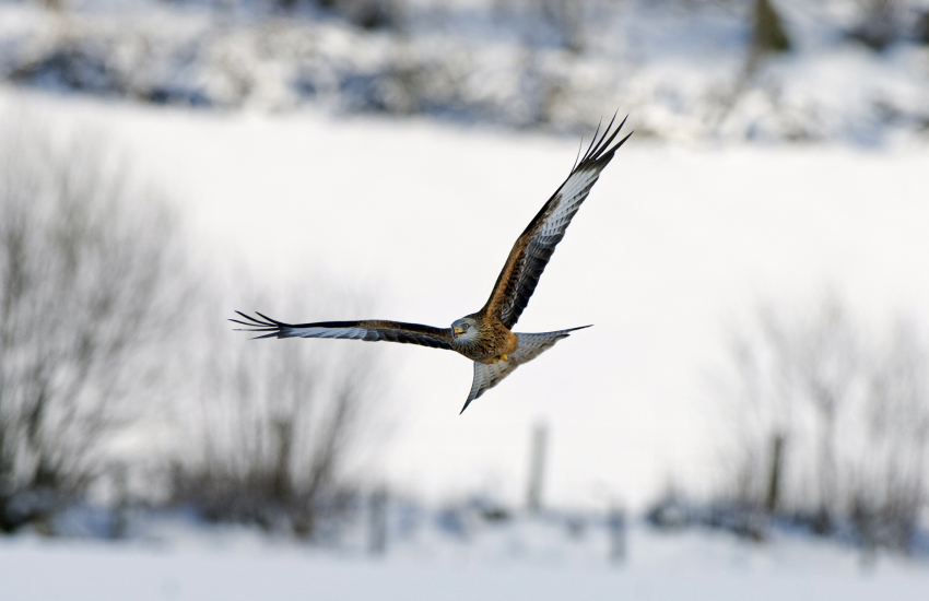 Red Kites can be seen in the countryside