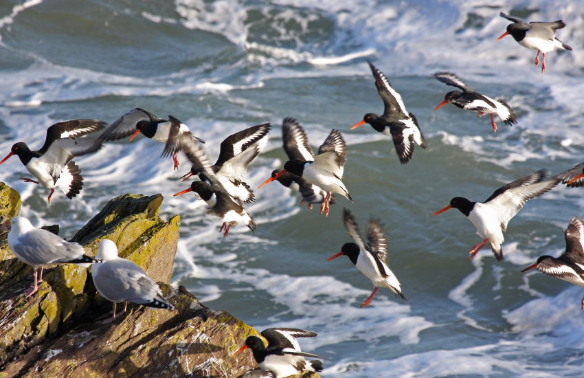 Oystercatcher's around the cliffs of Ramsey Island