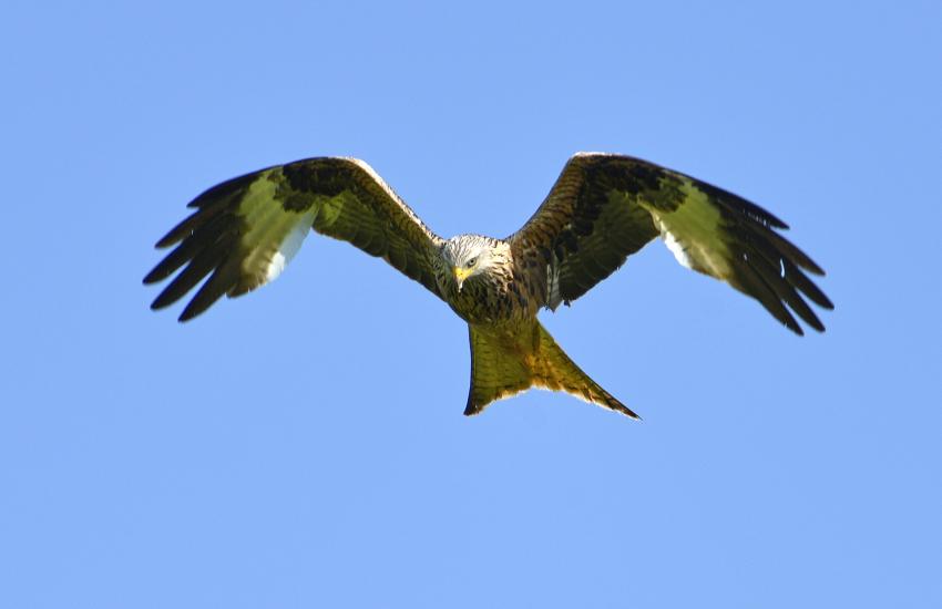 Red kites Llandeisant