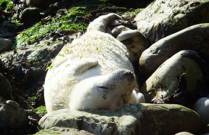 Grey seals can be spotted off the rocks along the Pembrokeshire