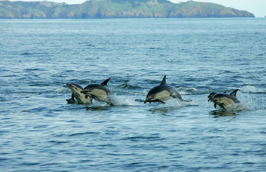 Cardigan Bay is home to bottlenose dolphins
