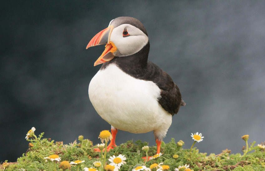 Puffins in early summer Skomer