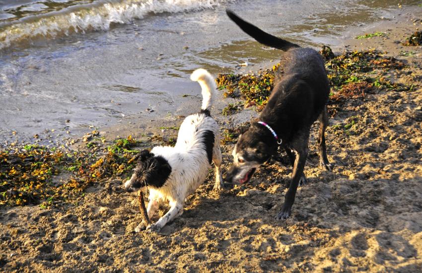 Newport Sands dogs