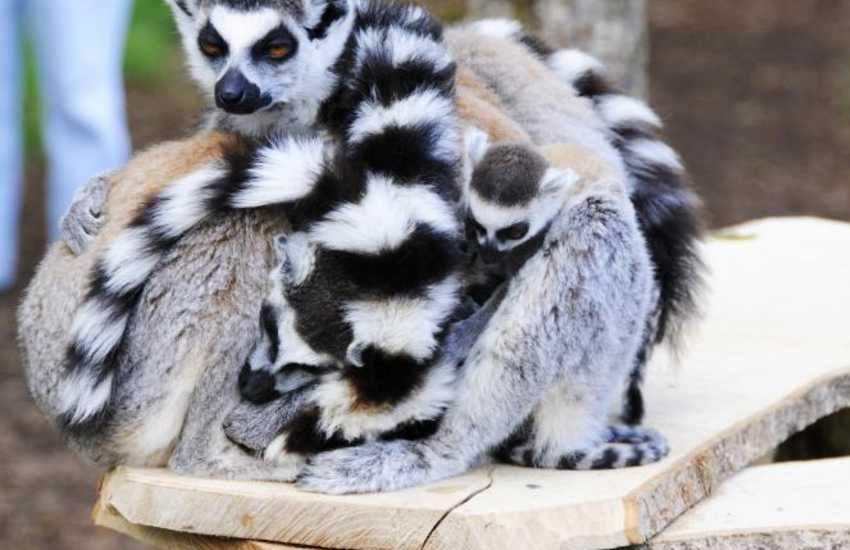 Long tailed Lemurs at Anna Ryder Richardson's Wild Life Park, Manor House near Tenby - a great day out for all the family!