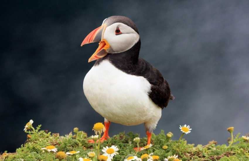 Skomer Island - the puffins in early summer are sure to make you smile!