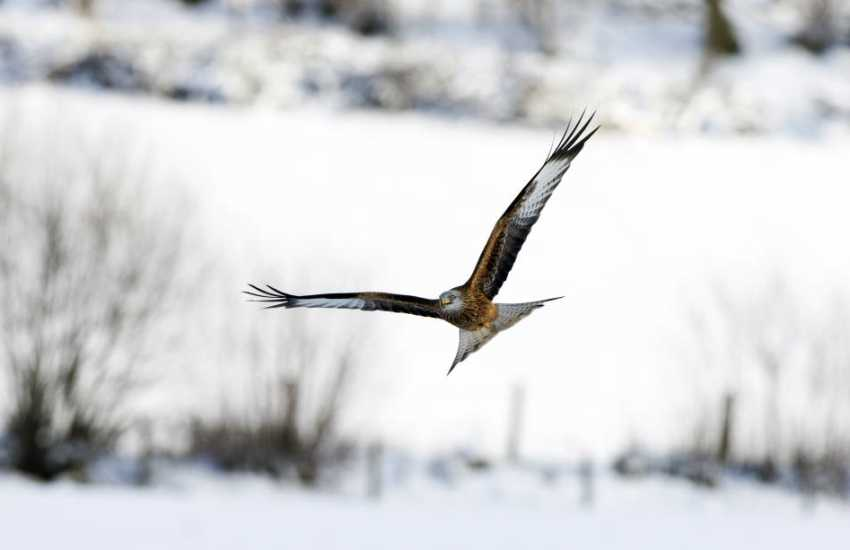 Red Kite a familiar sight on the mid Wales landscape. There is a Kite feeding station open to visitors at Rhayader