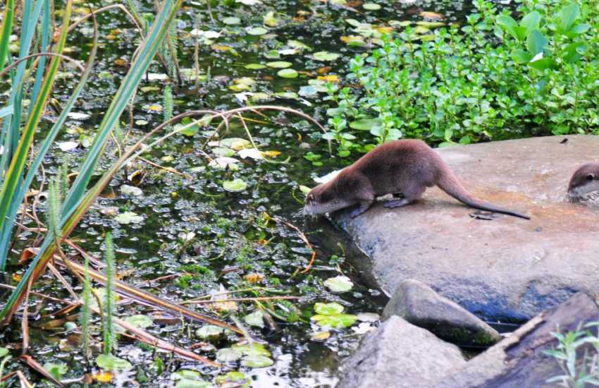 Otters at Conwy Water gardens