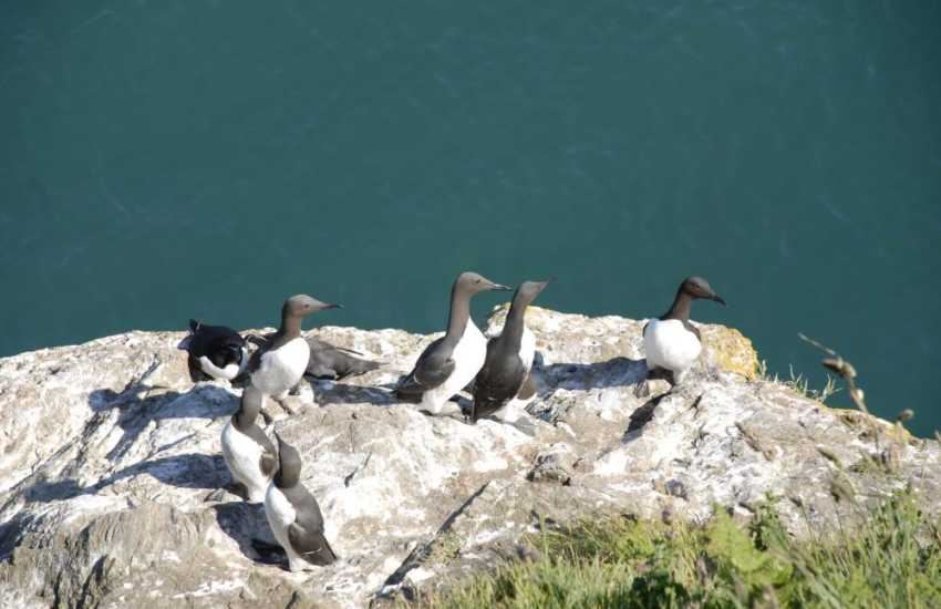 Guillemots on the Pembrokeshire sea cliffs just a short walk from the cottage