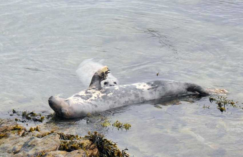 Atlantic Grey seals and their pups can be spotted at foot of the cliffs nearby during the autumn breeding season