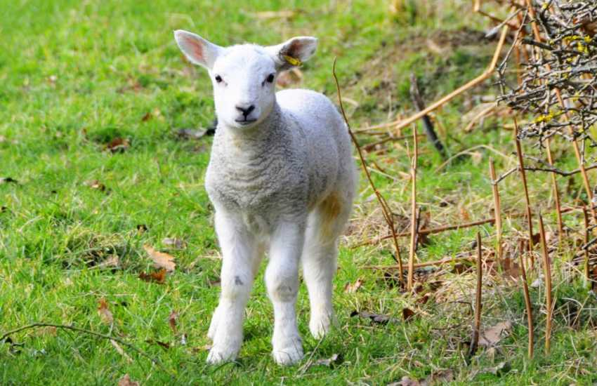 Children will love to feed the lambs over on the farmyard