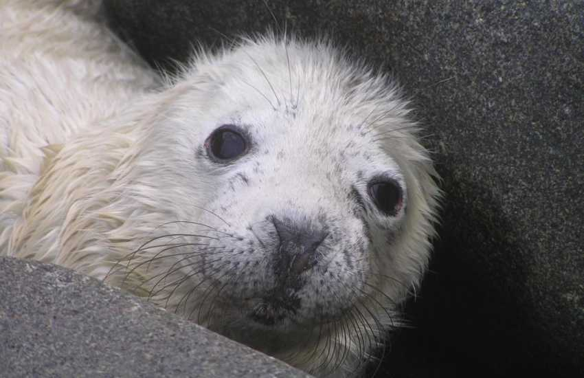 The Pembrokeshire coastline and off shore islands are popular locations for breeding Atlantic grey seals during the autumn