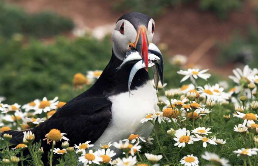 Skomer Island is home to many seabirds including Puffins which breed during the early summer