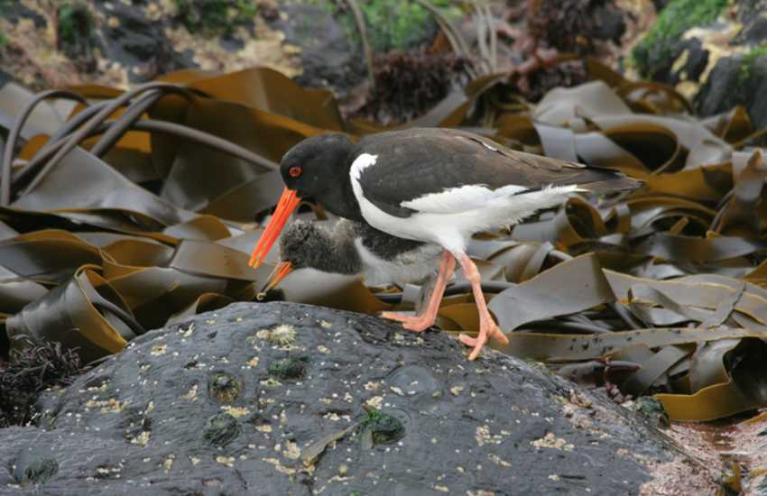 Oystercatchers plus a wide variety of birds can be spotted on the sand pit at nearby Ginst Point