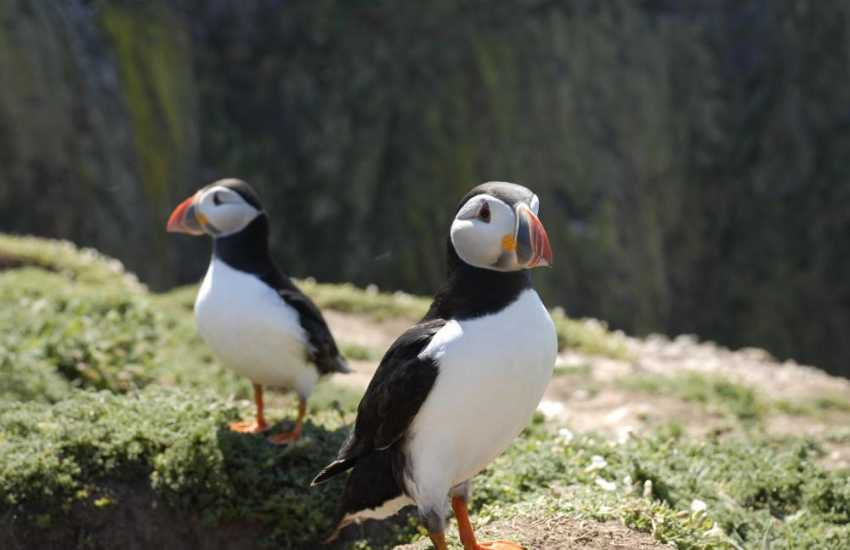 Puffins breed on Skomer during the summer months and are a joy to watch