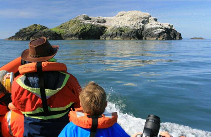 Boat trips to Skomer Island, Skokholm and Grassholm offer a real paradise for bird watchers  - wonderful wildlife from spring to autumn