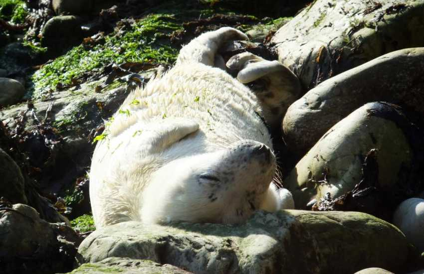 Grey seals can be spotted off the rocks along the Pembrokeshire coast don't forget your binoculars!