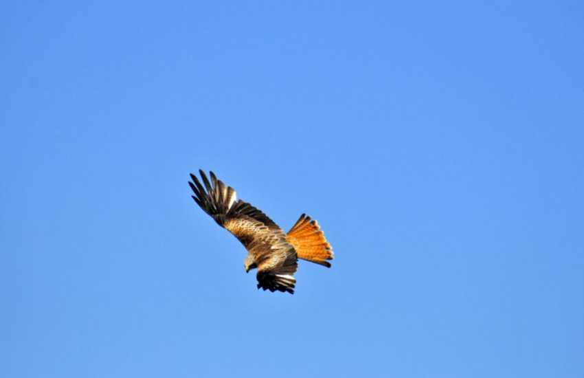 Red kites up in the sky are a common site at this cottage