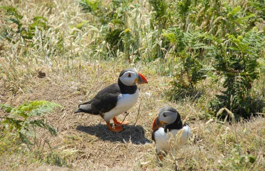 Puffins breed on Skomer Island during the summer months - they are a delight to watch up close!